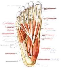 muskler og sener